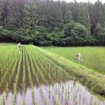 田んぼの中に入り、エンジン付きの田車で畝間を除草します