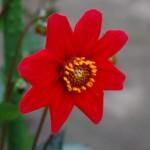 243 紅桜 (640x426)
